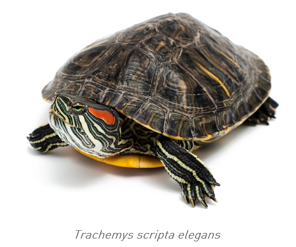 Acquario per le tartarughe 3 modi per creare un habitat for Tartaruga orecchie rosse prezzo